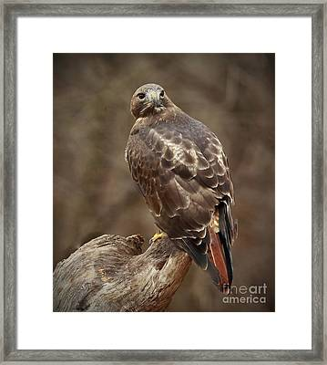 Always On Watch Redtailed Hawk Framed Print by Inspired Nature Photography Fine Art Photography