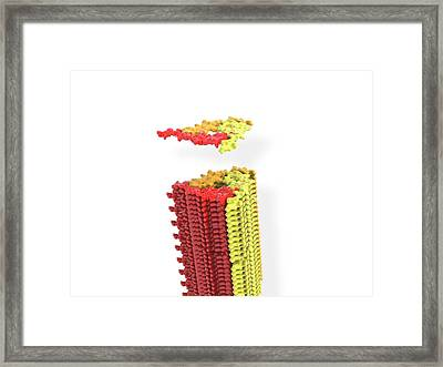 Alzheimer's Beta-amyloid Fibril Framed Print
