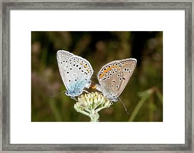 Amanda's Blue Butterflies Mating Framed Print by Bob Gibbons