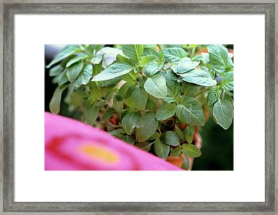 Amaranth Plant In Pot (leaves Are Used Like Spinach) Framed Print