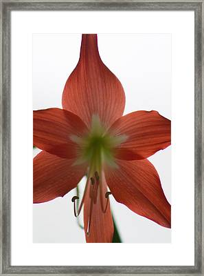 Amarillis Framed Print by Rhonda Humphreys