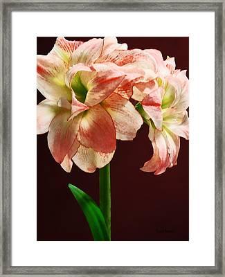 Amaryllis Aphrodite Framed Print by Susan Savad