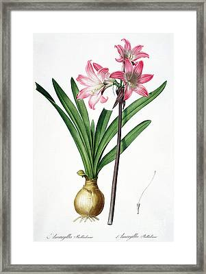 Amaryllis Belladonna From Les Liliacees Engraved By De Gouy Framed Print by Pierre Joseph Redoute