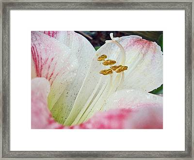 Amaryllis Belladonna Framed Print