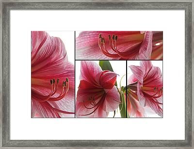 Amaryllis Collage Framed Print by Steffen Gierok