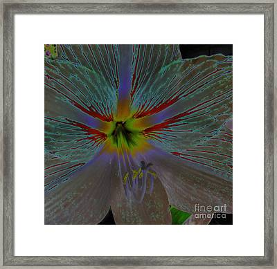 Amaryllis Colors Framed Print by D Hackett