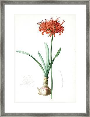 Amaryllis Curvifolia, Nerine Curvifolia Amryllis Framed Print