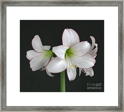 Amaryllis Framed Print by Deborah Johnson