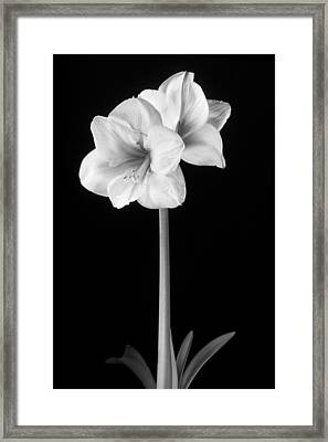 Amaryllis In Black And White Framed Print by Adam Romanowicz