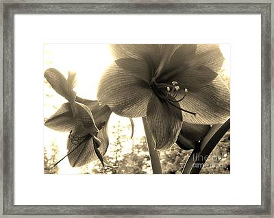 Framed Print featuring the photograph Amaryllis In Bloom by Laura  Wong-Rose