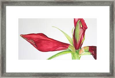 Amaryllis Framed Print by Kyong Burke