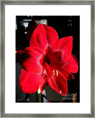 Framed Print featuring the photograph Amaryllis Named Black Pearl by J McCombie