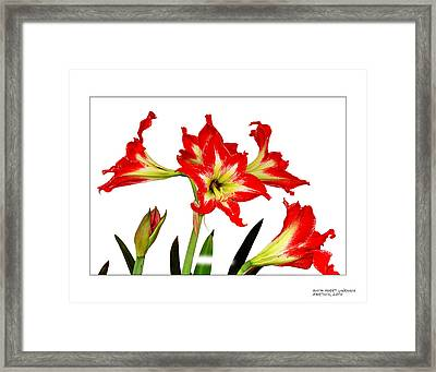 Amaryllis On White Framed Print by David Perry Lawrence