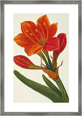 Amaryllis Purpurea Framed Print by Pancrace Bessa