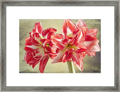 Amaryllis Red Framed Print by Jeff Kolker