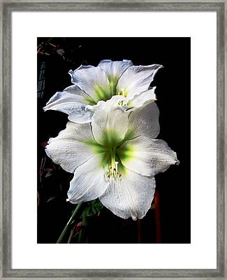 Amaryllis Framed Print by Will Boutin Photos