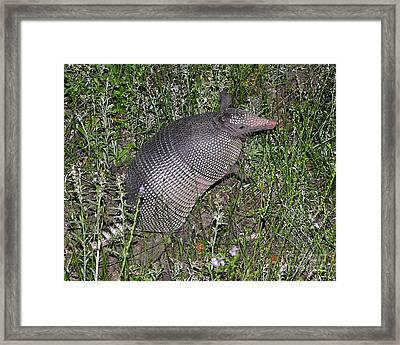 Amazing Armadillo Framed Print by Al Powell Photography USA