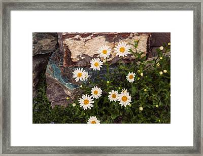 Amazing Daisies Framed Print