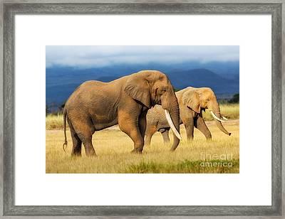 Amazing Grazing Elephant Bull In Amboseli National Park  Framed Print