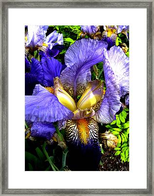 Amazing Iris Framed Print by Michele Avanti