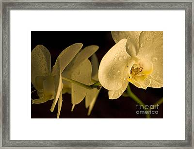 Amazing Orchid 2 Framed Print by Micah May