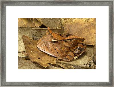 Amazon Horned Frog Framed Print by Natures Images