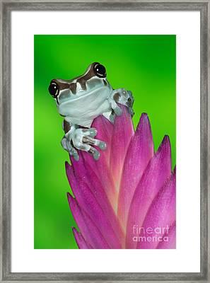 Amazon Milk Frog Trachycephalus Framed Print by Dennis Flaherty