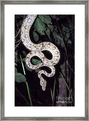 Amazon Tree Boa Framed Print