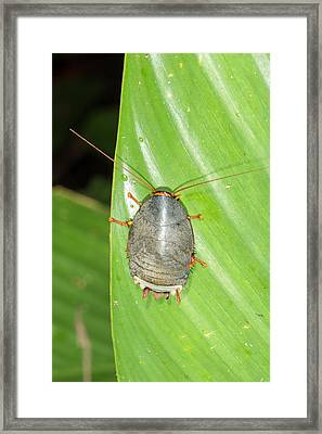 Amazonian Cockroach Framed Print by Dr Morley Read