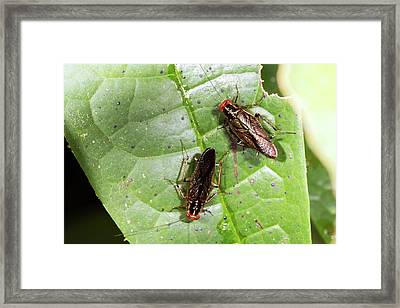 Amazonian Cockroaches Framed Print by Dr Morley Read