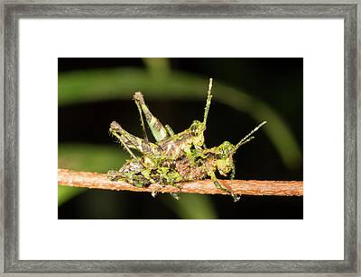 Amazonian Grasshoppers Mating Framed Print