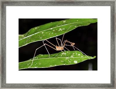 Amazonian Harvestman Framed Print by Dr Morley Read