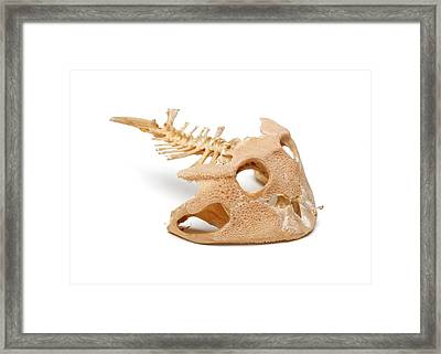 Amazonian Horned Frog Skull Framed Print by Ucl, Grant Museum Of Zoology