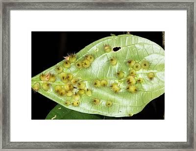 Amazonian Leaf Galls Framed Print