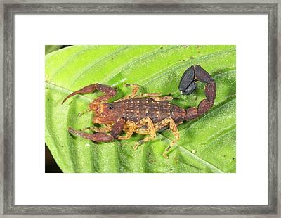 Amazonian Scorpion Framed Print
