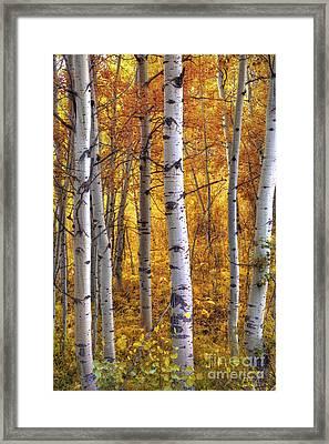 Amber Aspens Framed Print