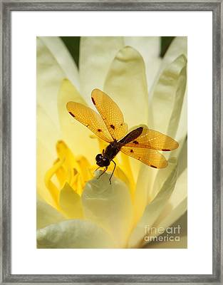Amber Dragonfly Dancer Framed Print by Sabrina L Ryan