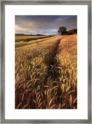 Amber Waves Of Grain Framed Print