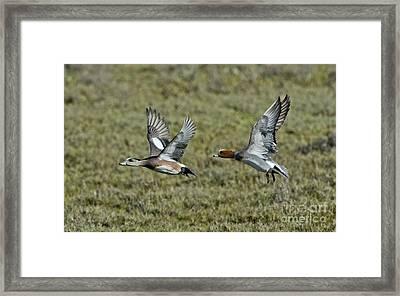 American & Eurasian Wigeons Framed Print