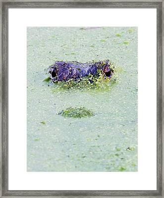 American Alligator, Alligator Framed Print