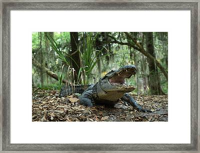 American Alligator (alligator Framed Print by Pete Oxford