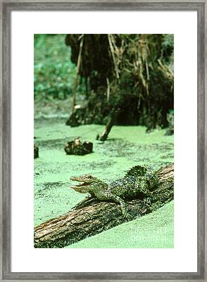 American Alligator Framed Print by Gregory G. Dimijian, M.D.
