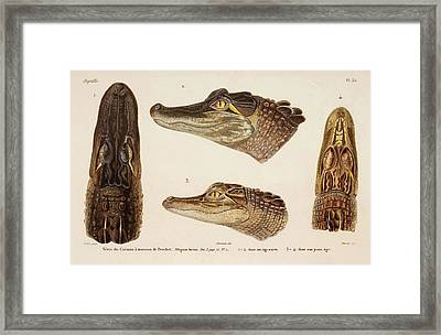 American Alligator Framed Print by Natural History Museum, London/science Photo Library