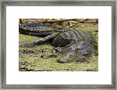American Alligator Smile Framed Print