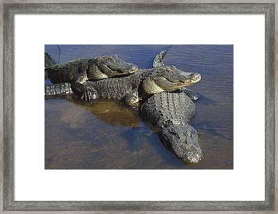 American Alligators In Shallows Florida Framed Print