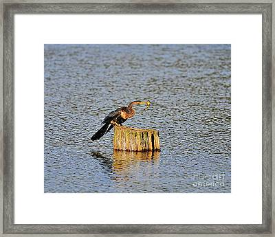 American Anhinga Angler Framed Print by Al Powell Photography USA