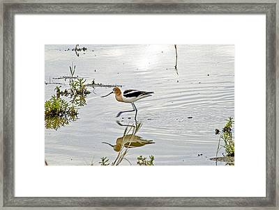 American Avocet Feeding Framed Print by James Steele