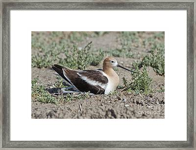 American Avocet On Eggs Framed Print