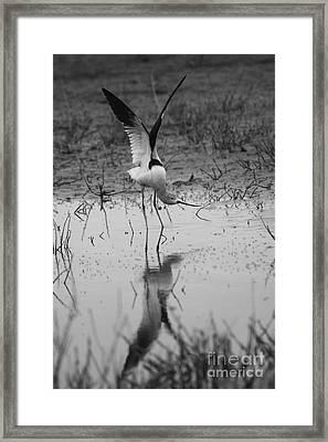 American Avocet Reflection Framed Print
