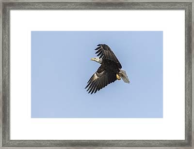 American Bald Eagle 2015-4 Framed Print